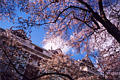 UW Cherry Blossoms 1