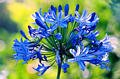 blueflower03.jpg